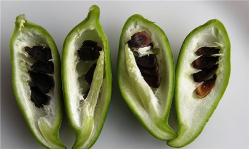 【辣椒瓜】世界上最小的瓜,滋味却让人惊叹