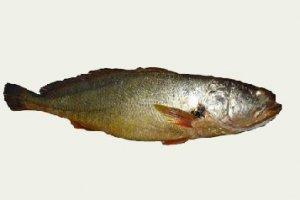 【金钱鳖】这种鱼一条竟卖300万!300万!