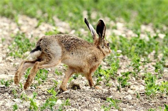 【草兔】美味的美容肉——草兔