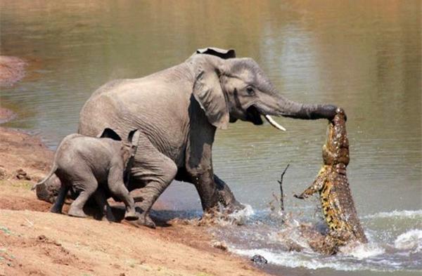 【鳄鱼】鳄鱼与人类的相爱相杀