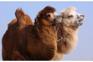 【骆驼】沙漠之舟变盘中佳肴——骆驼
