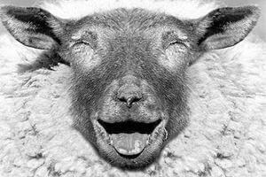 【绵羊】小绵羊蕴含大营养——绵羊