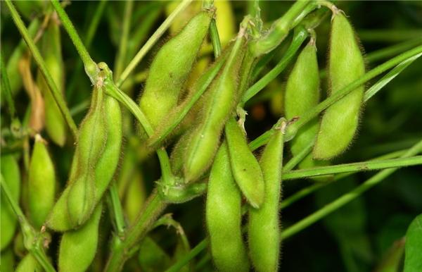【黄豆】一斤黄豆等于三斤肉?——黄豆