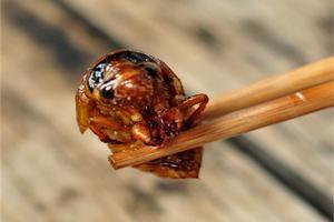 【金蝉】最名贵下酒菜,你知道是什么吗?