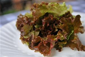 【紫叶生菜】西餐必不可少的蔬菜