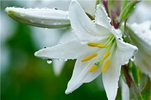 【百合】即好看又能吃的花——百合